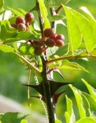 Hồ Tiêu Mộc Tứ Xuyên Zanthoxylum simulans Gia đình: Rutaceae