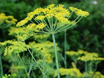 Thì Là Anethum graveolens Gia đình Apiaceae, Umbelliferae